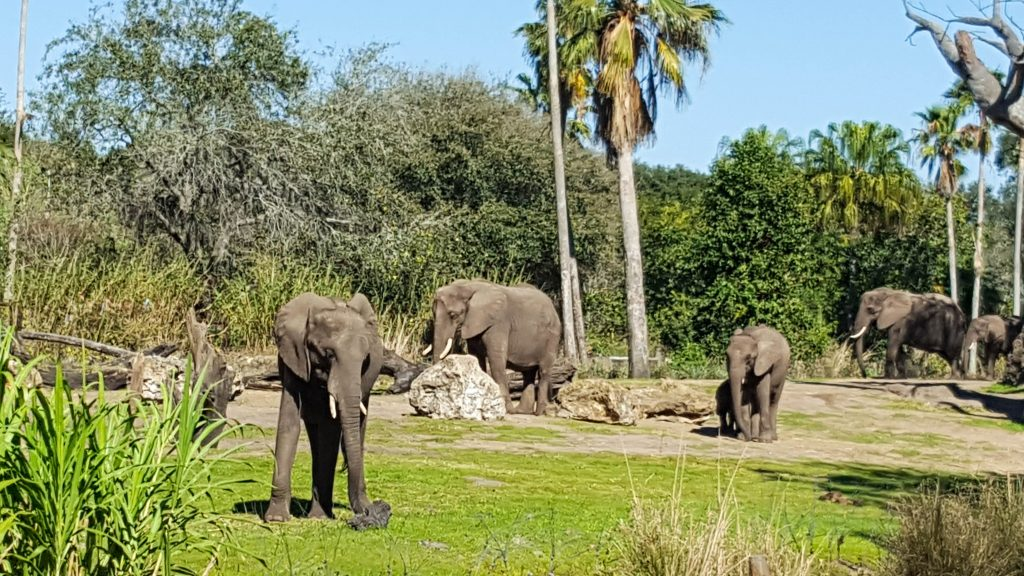 Elephants at Kilimanjaro Safaris in Animal Kingdom