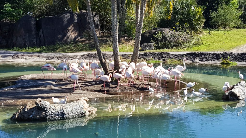 Pink Flamingos  at Kilimanjaro Safaris in Animal Kingdom
