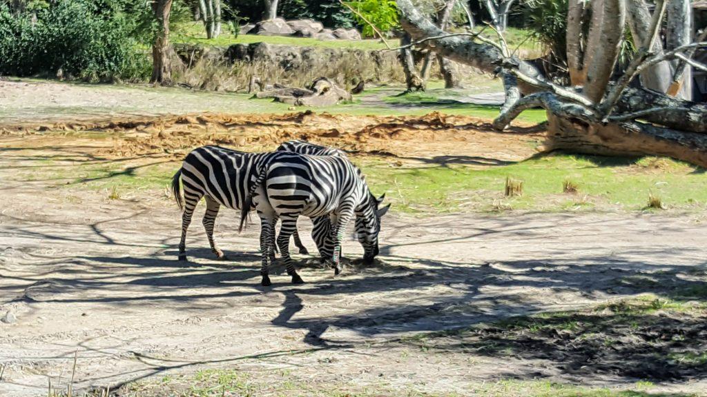 Zebras at Kilimanjaro Safaris in Animal Kingdom